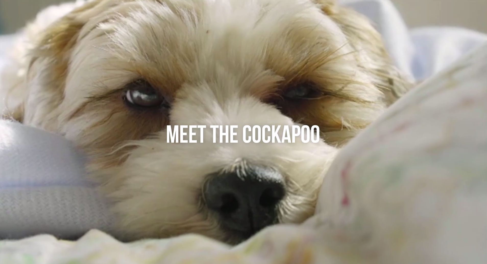 Cockapoo Dog Breed Information, Pictures, Characteristics